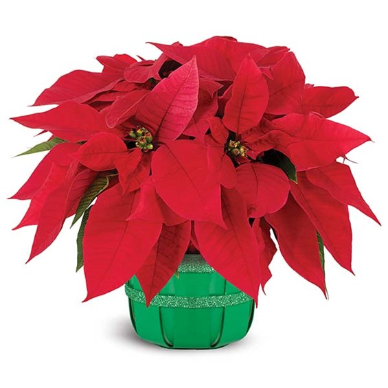 Holiday poinsettia basket (BF365-11KM)